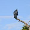 Black-headed buzzard.