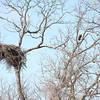 Bald eagle near his nest on the Llano River.