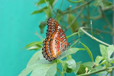 Papillon 8549 C-Mouton