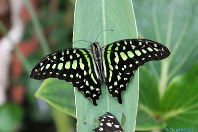 Serre papillon 010407 5 C-Mouton