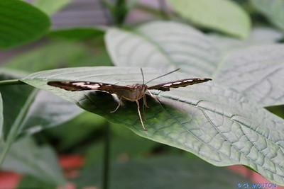 Serre papillon 010407 7 C-Mouton