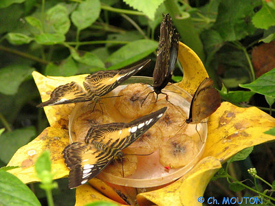 Parc floral Papillon 08 C-Mouton