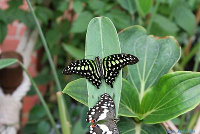 Serre papillon 010407 4 C-Mouton