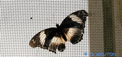 Papillon 8548 C-Mouton