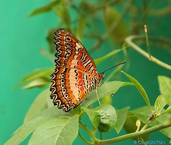 Papillon 8551 C-Mouton