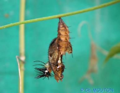 Papillon 8554 C-Mouton