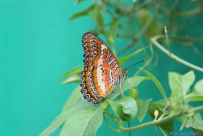 Papillon 8550 C-Mouton