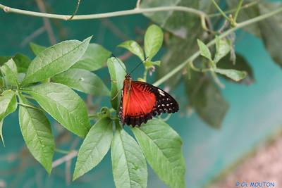 Papillon 8553 C-Mouton
