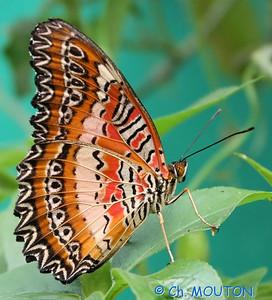 Papillon 8552 C-Mouton