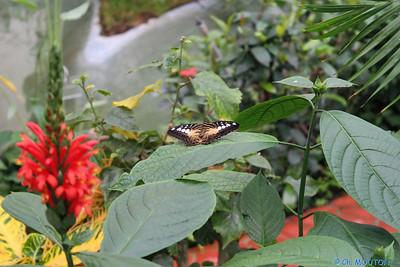 Serre papillon 010407 1 C-Mouton