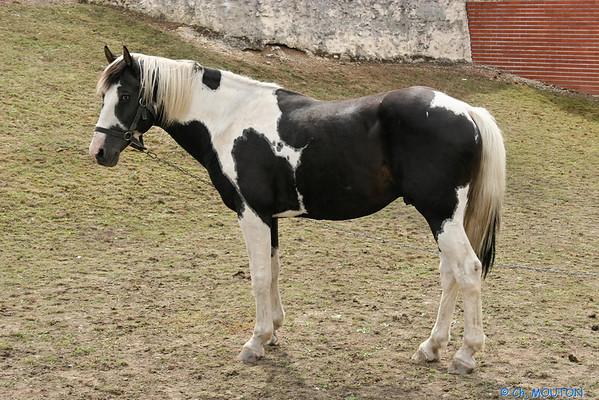 Cheval 0206 C-Mouton