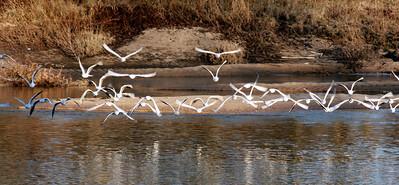 Oiseaux bords de Loire Orleans 3 C-Mouton