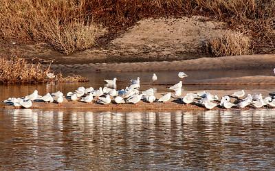 Oiseaux bords de Loire Orleans 2 C-Mouton