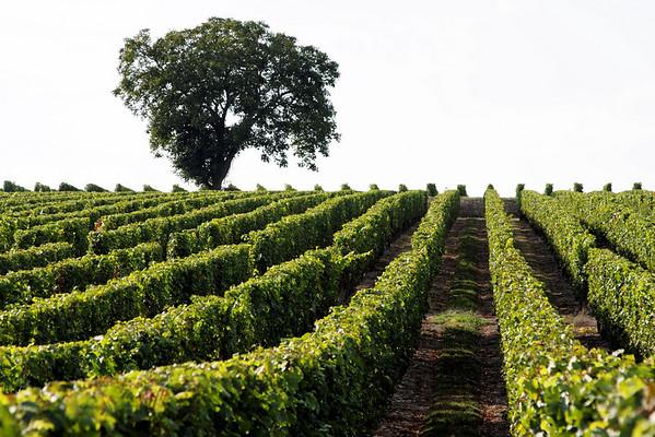 Vignoble Saumur Champigny
