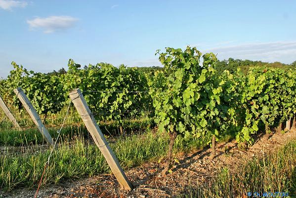 Vignoble orleanais 2522 C-Mouton
