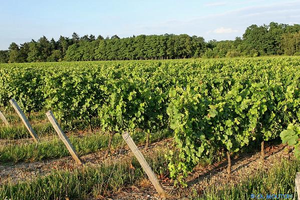 Vignoble orleanais 2525 C-Mouton