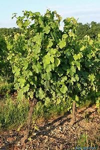 Vignoble orleanais 2523 C-Mouton