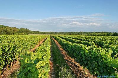 Vignoble orleanais 2524 C-Mouton
