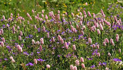 La flore alpine au mois de juin