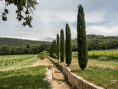 Vignes, collines boisées et un bel alignement d'ifs