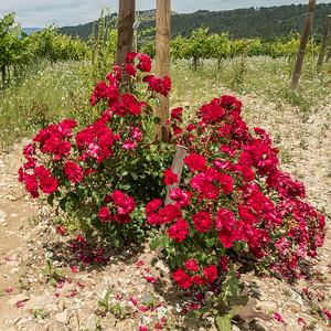 Roses au pied d'un rang de vigne