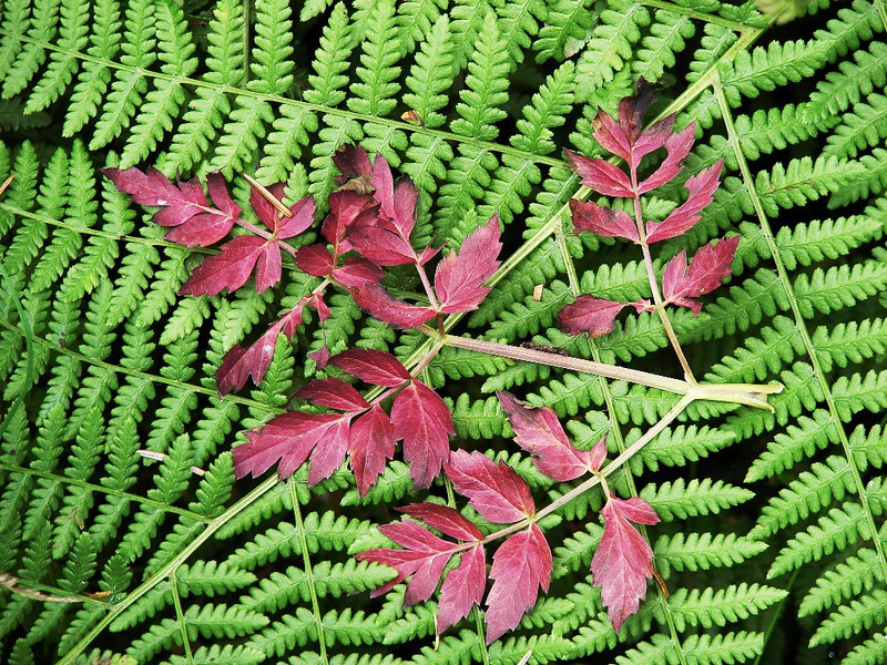 Kalaloch River, WA - A small branch with red leaves resting on a fern growing on the bank of the river.