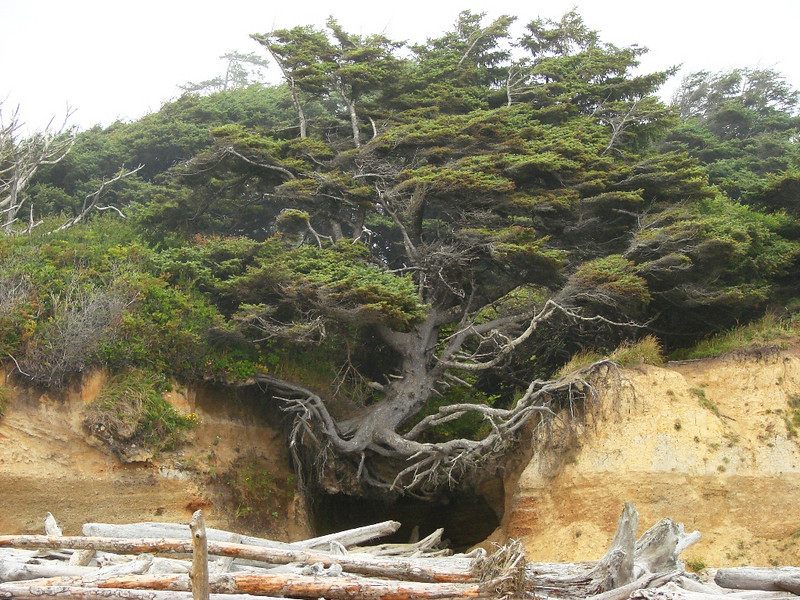 "Kalaloch Beach, WA - This tree has been surviving with no dirt underneath it for many decades. I was surprised to see it still hanging by its ""toes"" and thriving after all of these years."