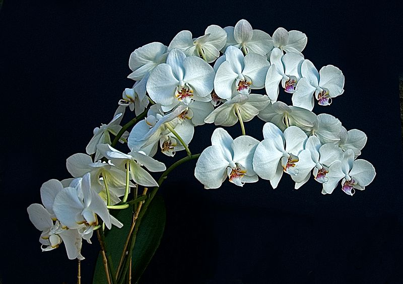 White Orchids <br>Photo by Maria Stocks