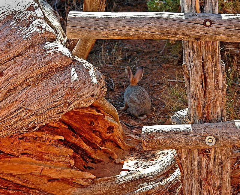 Jack Rabbit &  Fence <br> Photo by Ross Stocks