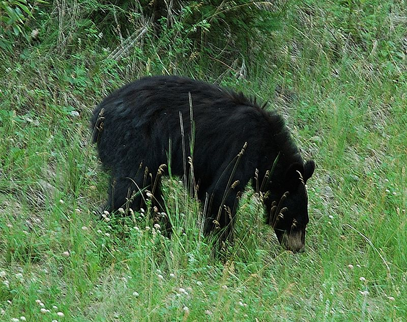 Black Bear <br> Photo by Dana Stocks Douglas