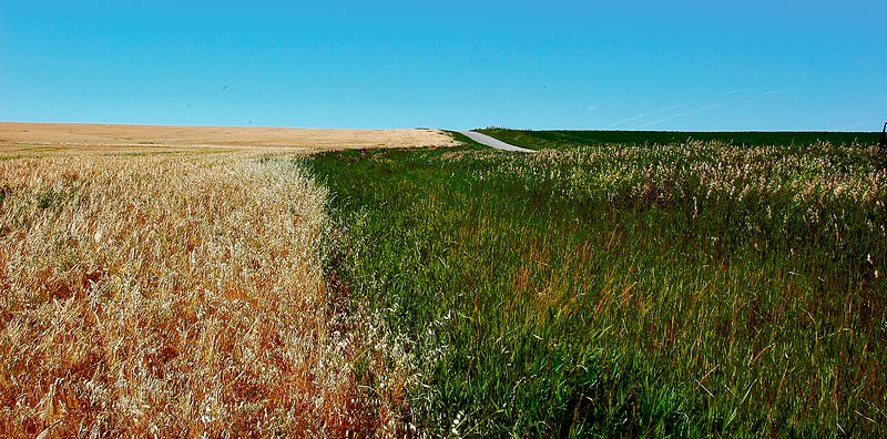 Wheat Field, Saskatchewan,<br /> First Place, SVCC, October 2006