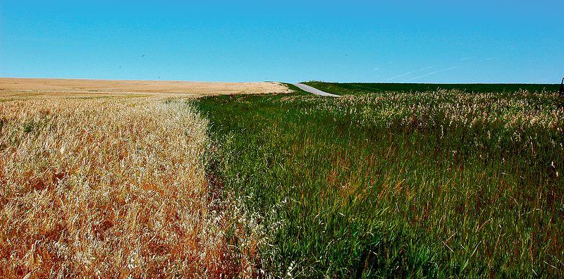 Wheat Field, Saskatchewan,<br /> First Place, SVCC, October 2006