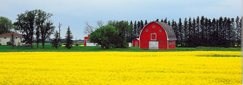 Rapeseed & Red Barn <br> Saskatchewan First Place,  Shades Valley Camera Club Competition,  April 2005