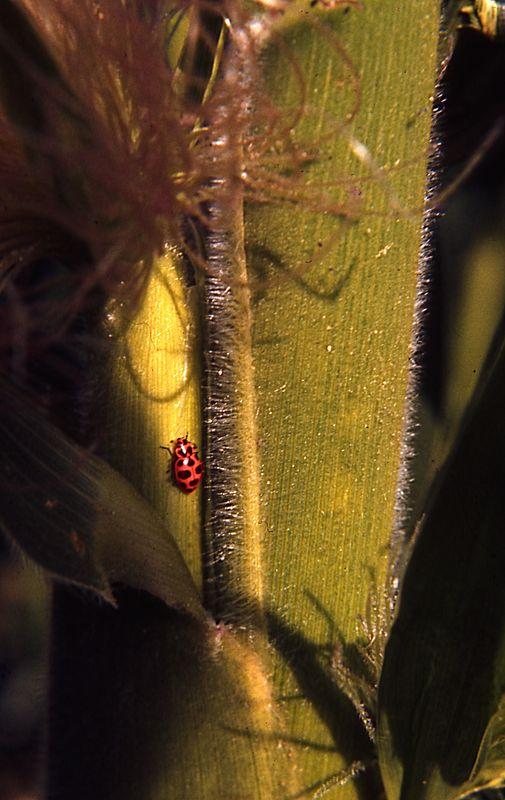 Lady Bug on Corn Stalk