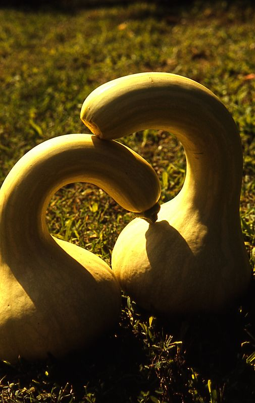 Gourds <br /> (Rarely photographed mating dance of the gourd swans.)