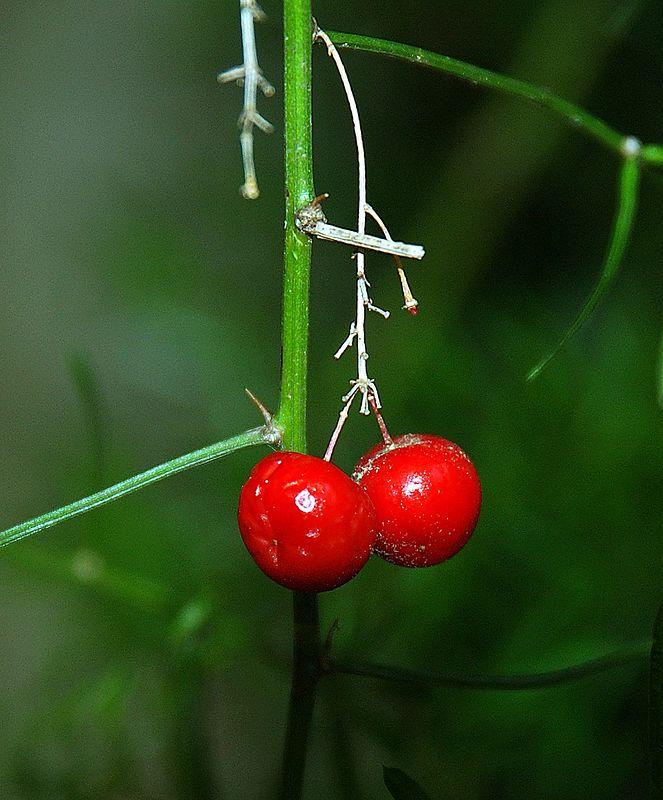 Asparagus Fern Berry
