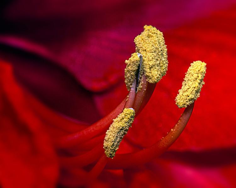 Amaryllis Stamen