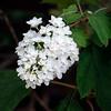 Snowflake Oakleaf Hydrangea
