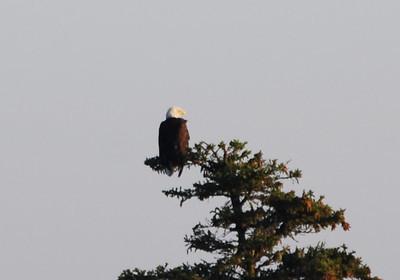 Eagle - 6