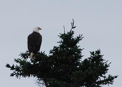 Eagle - 1