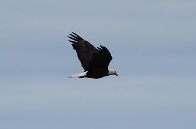 Eagle - 4