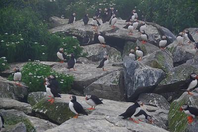 Machias Seal Island Trip - 023