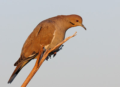 White-winged Dove (Juvenile)