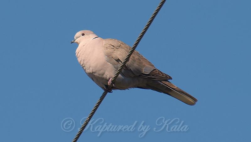 That's a Big Dove