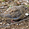 Fluffy Little Baby Mourning Dove