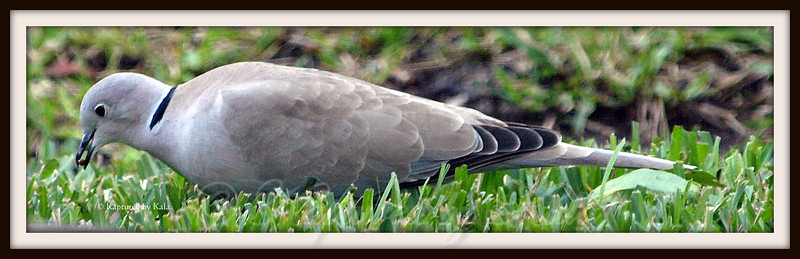Another Photo of the Eurasian Collared Dove
