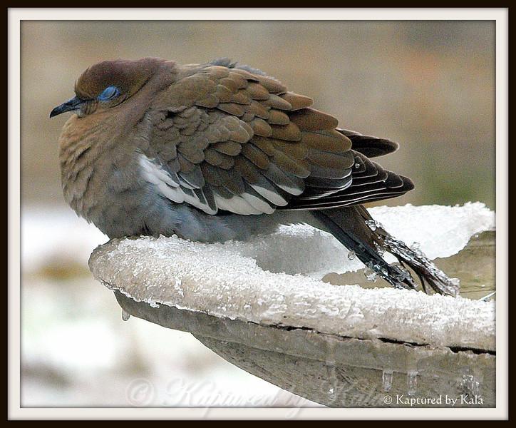 Frosty Dove