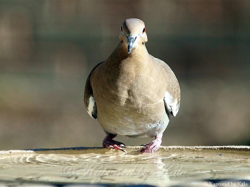 Would You Call it Pigeon Toed When it's a Dove?