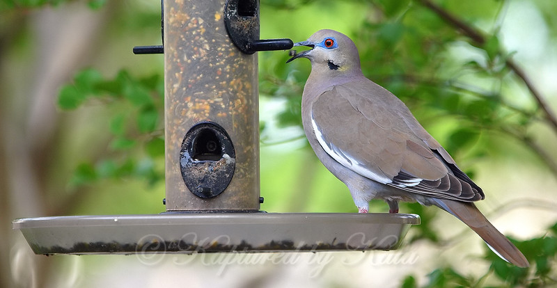 Enthusiastic Dove