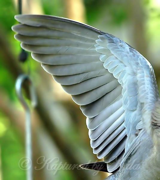 Dove's Wing